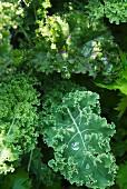 Organic green kale in a field (close-up)