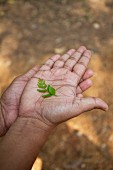 Curry leaves on the palm of somebody's hand (India)