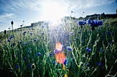 Kornblumen auf dem Feld im Gegenlicht