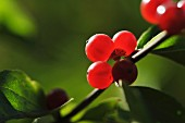A close-up of red berries on a twig