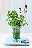 Fresh, flowering oregano in a glass of water