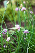 Flowering chives in a flower bed