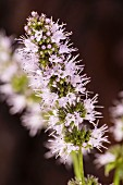 Flowering peppermint (close-up)