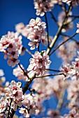 Peach blossom on a tree
