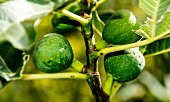 Green figs on a tree