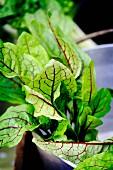 Freshly harvested beetroot leaves