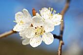 A sprig of apricot blossom in Wachau, Austria (Wachau Marille)