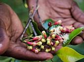 Männerhände halten frische Gewürznelken mit Blättern (Sansibar)