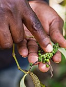 Hands holding a vine of green peppers on Plantation on Zanzibar