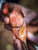 Hands holding an opened achiote seed pod on Zanzibar island