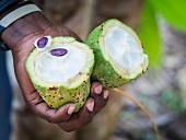 Person hält eine geöffnete Kakaofrucht (Zanzibar)
