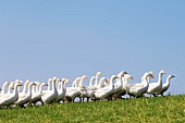 Free range geese on a mountain farm in Upper Austria