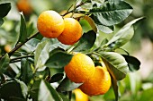 Oranges on a tree (Majorca)