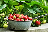Freshly harvested strawberries in a grey enamel sieve in a garden