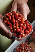 Hands holding a plastic punnet of wild strawberries