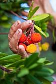 Arbutus - Frucht des Erdbeerbaums