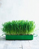 Wheatgrass growing in a small container