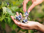 Blueberries being picked from a bush