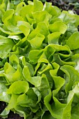 Lettuce in a garden (close-up)