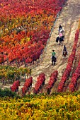 Horse riding through autumnal Clos Apalta vineyard of Lapostolle. Colchagua Valley, Chile.