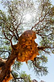 A weaver bird nest in an acacia tree, NamibRand Private Reserve, Namibia