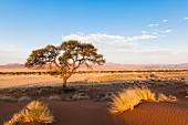 A lone tree in the barren Namibian desert
