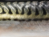 A close-up of mackerel skin