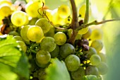 Right grapes on a vine