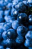 Blaue Weintrauben mit Wassertropfen, Close-up