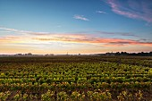 Wine growing region Pomerol im Bordelais (Bordeaux, France)