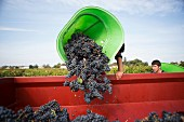 Red wine grapes being tipped into a container after harvested