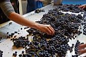 Sorting Pinot Noir grapes at Domaine André et Mireille Tissot. Montigny-lès-Arsures, Jura, France. [Arbois]
