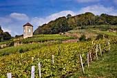 Trousseau vineyard of Domaine André et Mireille Tissot below their La Tour de Curon. Arbois, Jura, France. [Arbois]