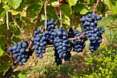 Trousseau grapes in vineyard of Domaine André et Mireille Tissot. Arbois, Jura, France. [Arbois]