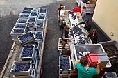 Sorting harvested Trousseau grapes at Domaine André et Mireille Tissot. Montigny-lès-Arsures, Jura, France. [Arbois]