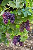 Poulsard grapes. Arbois, Jura, France. [Arbois]