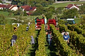 Harvesting Trousseau grapes in vineyard of Domaine Daniel Dugois. Les Arsures, Jura, France. [Arbois]