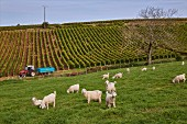 Sheep in field by vineyard at Montigny-lès-Arsures, Jura, France. [Arbois]