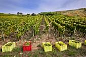 Crates of harvested Savagnin grapes in vineyard of Domaine Henri Maire at Menétru-le-Vignoble. Jura, France. [Château-Chalon]