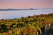 Early morning light on vineyard at Les Loges with view over the fog-filled Loire Valley to the hilltop town of Sancerre. Near Pouilly-sur-Loire, Nièvre, France. [Pouilly-Fumé]