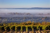 Early morning light on vineyard at Les Loges with view over the fog-filled Loire Valley. Near Pouilly-sur-Loire, Nièvre, France. [Pouilly-Fumé]
