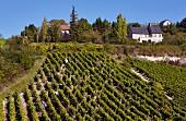 Weinlese von Sauvignon Blanc Trauben im steilen Weinberg von Sancerre (Cher, Frankreich)