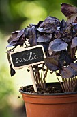 Purple basil in a flower pot with a label