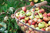 Fresh country apples in a wire basket