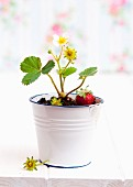 A strawberry plant in an enamel pot
