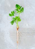 Koriandergrün mit Wurzel
