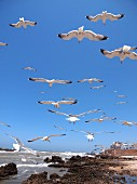 Seagulls flying over the beach at Essaouira, Morocco