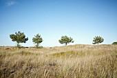 Trees on the Baltic Sea beach near Darss