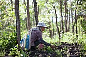 A Thai woman foraging for mushrooms