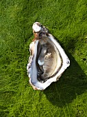 A Norman oyster
